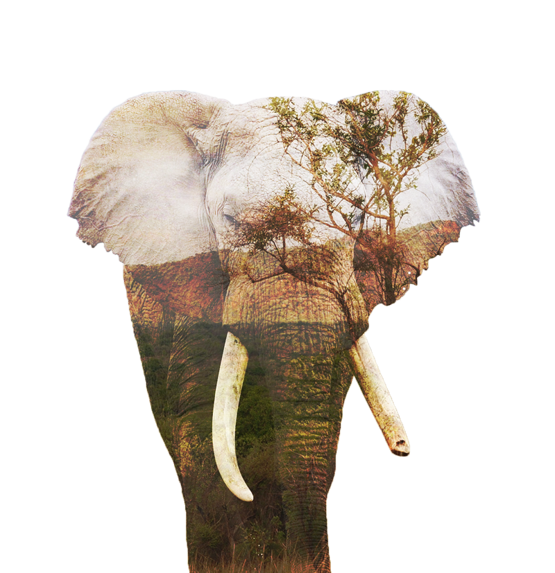 african_bush_elephant_big_animal
