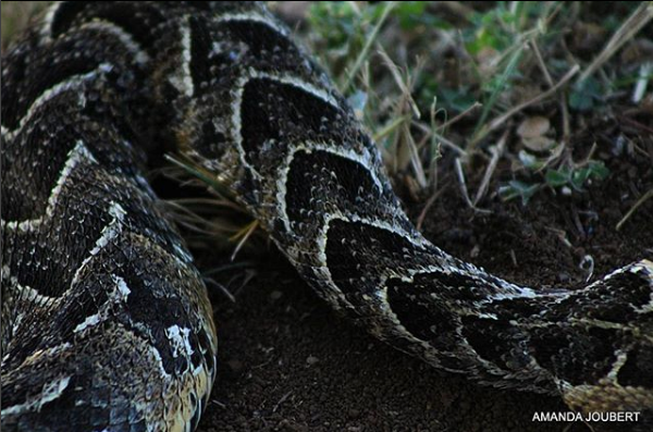 Puff Adder at Nambiti Game Reserve
