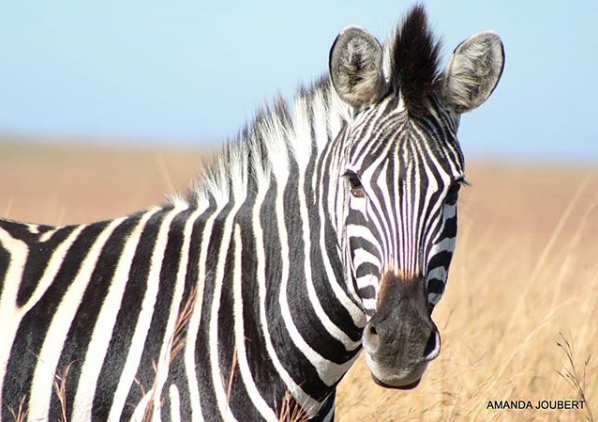 zebra at nambiti