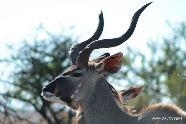 male kudu at nambiti