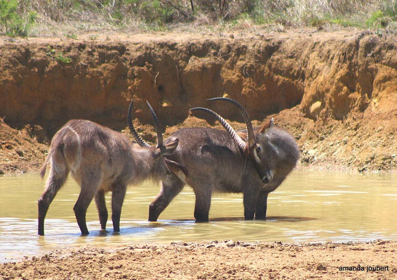 waterbuck nambiti big 5 game reserve