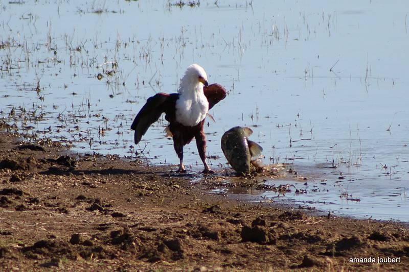 Fish Eagle 5