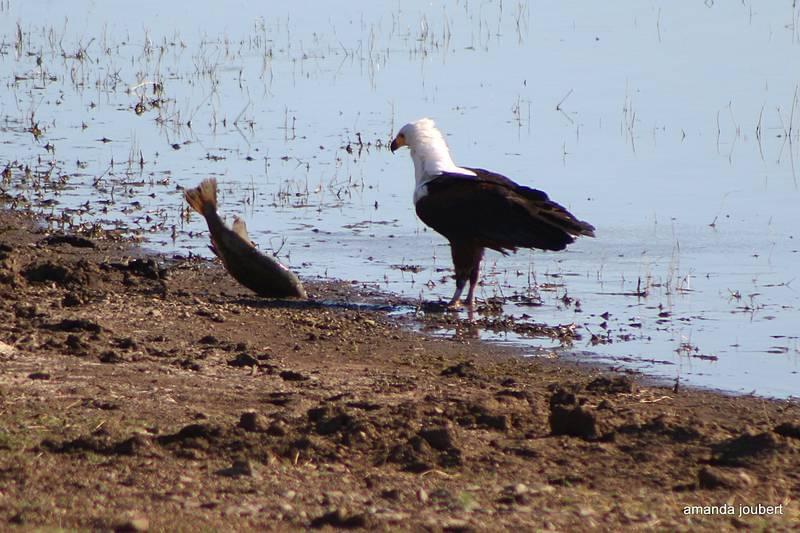 Fish Eagle 7