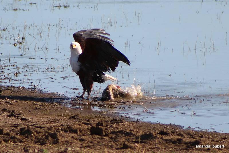 Fish Eagle 8