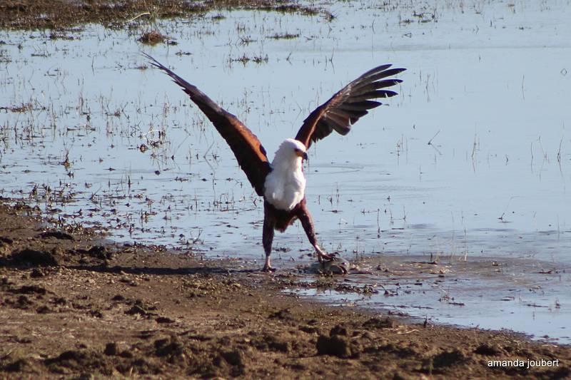 Fish Eagle 9