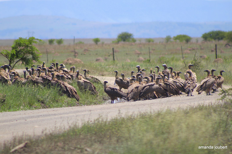 vultures at nambiti game reserve