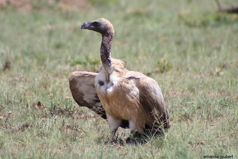 vultures at nambiti game reserve