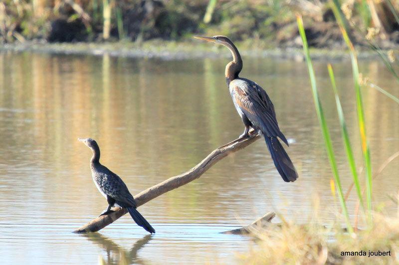 reed cormarant nambiti big 5 private game reserve