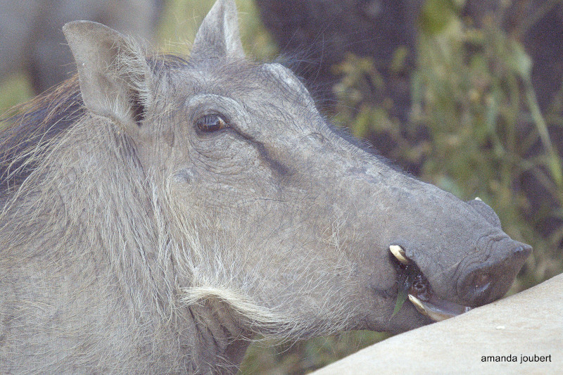 Warthog looks