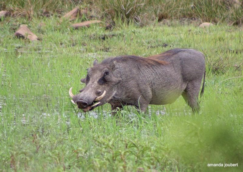 Warthog wallow