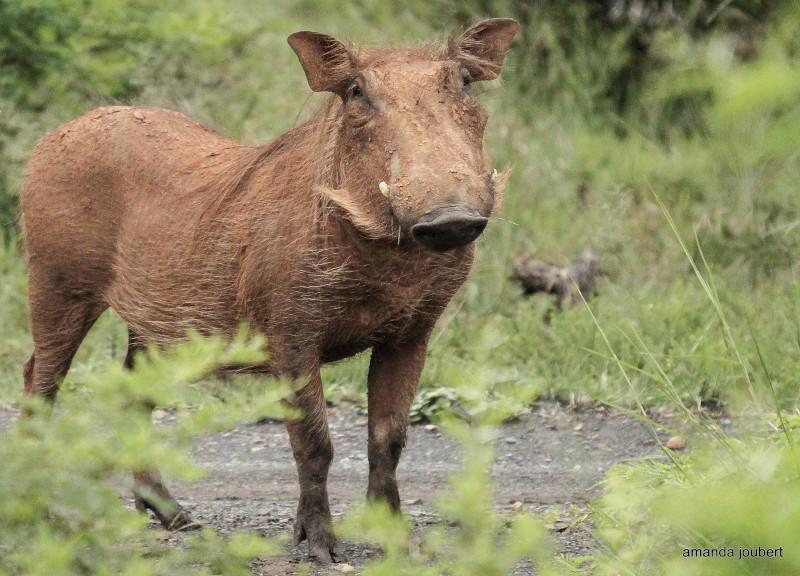 Warthog pose
