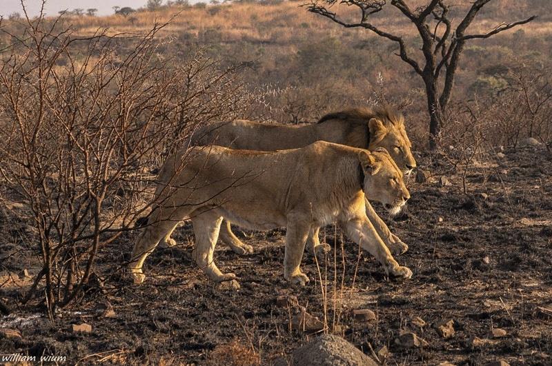 lion couple sighting